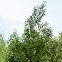 Биота (Туя восточная)
